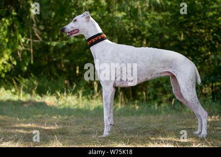 White Greyhound, standing - Stock Photo