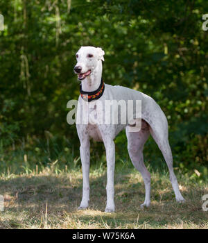 White Greyhound, standing - Stock Photo