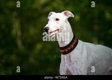 White Greyhound, head portrait - Stock Photo
