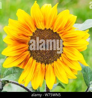A macro shot of a sunflower solar flash bloom. - Stock Photo