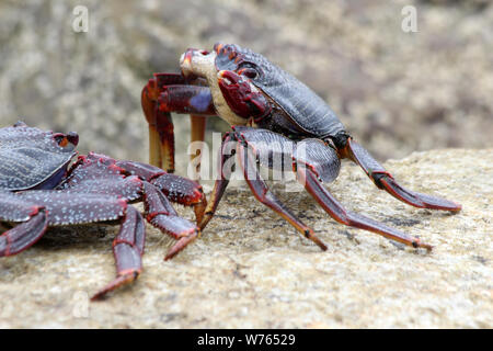 rote Klippenkrabbe - Stock Photo