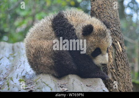 A muddy giant panda cub lies on a stand near a tree at a base of China Conservation and Research Centre for the Giant Panda in southwest China's Sichu - Stock Photo
