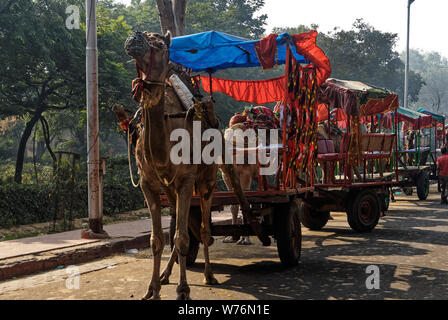 A tourist attraction in India, camels are used to pull carts of tourist to see the sights. - Stock Photo