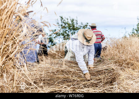 mowing wheat by hand - Stock Photo