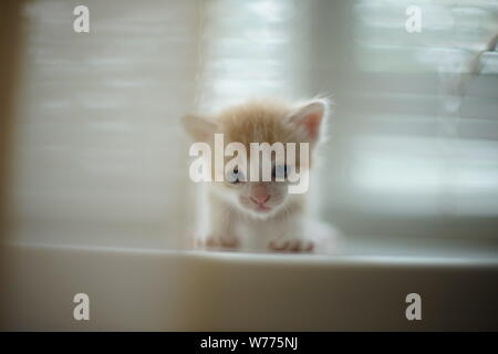 pale red small baby kitten, portrait on the white windowsill - Stock Photo