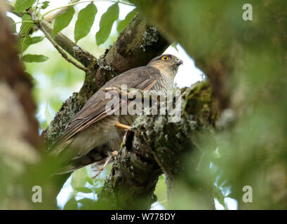 Sparrowhawk in woodland. - Stock Photo
