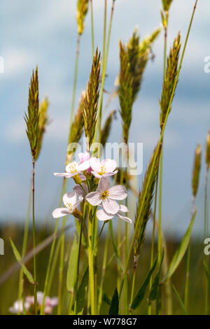 Detail of a Cuckoo Flower (Cardamine pratensis) Growing Amongst Grasses in a Devon Meadow Against a Blue Sky. - Stock Photo