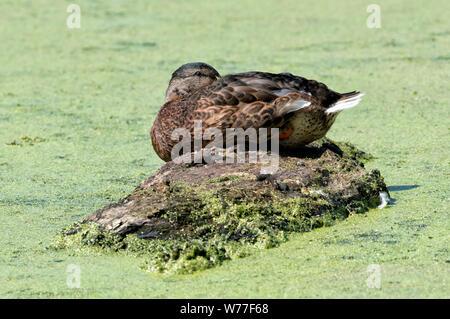 Female Mallard (Anas platyrhynchos) sleeping on a log floating in a pond - Stock Photo