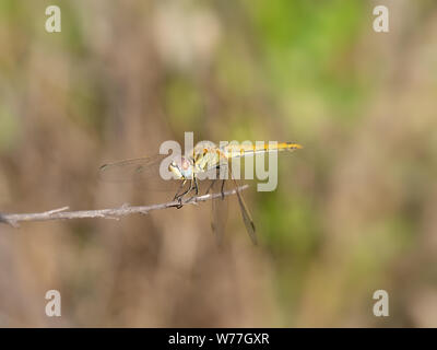Yellow dragonfly - Red-veined Darter, Sympetrum fonscolombii. - Stock Photo