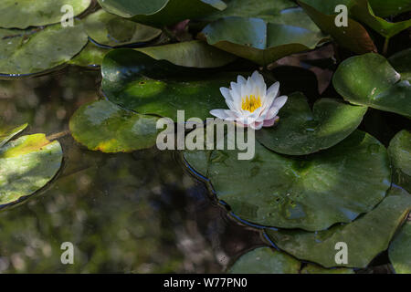 Lotus flower in bloom with green leaves on a pond