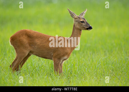 Roe deer doe in summer standing on a meadow with green grass looking away - Stock Photo