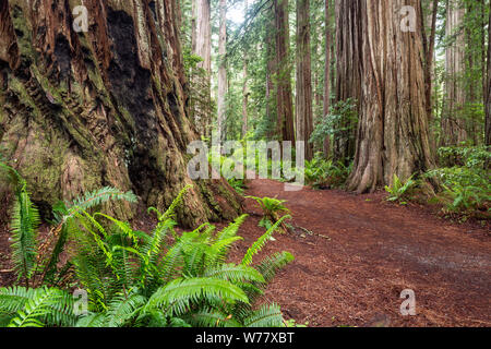 CA03453-00...CALIFORNIA - Stout Grove in Jediah Smith Redwoods State Park along the Redwood Coast.