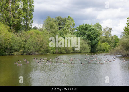 Flock of Canada Geese (Branta canadensis) on the lake at Loseley Park, Compton, Guildford, Surrey, England, United Kingdom. - Stock Photo
