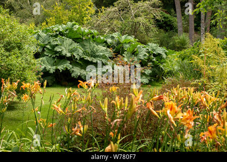 Giant Rhubarb or Gunnera Manicata plants on a summer day at the Stream Garden in Muckross House and Gardens estate, Killarney National Park, County Ke - Stock Photo