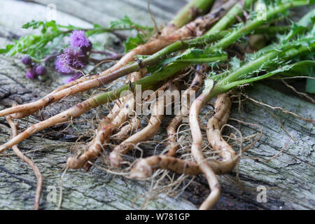 Disteln-Wurzeln, Acker-Kratzdistel, Wurzel, Wurzelstock, Wurzeln, Distel-Wurzel, Distelwurzel, Distelnwurzeln, Ackerkratzdistel, Kratzdistel, Distel, - Stock Photo