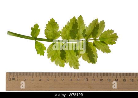 Aufrechter Merk, Schmalblättriger Merk, Berle, Aufrechte Berle, Berula erecta, Sium erectum, Sium angustifolium, Berula angustifolia, lesser water-par - Stock Photo