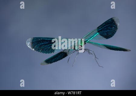 Gebänderte Prachtlibelle, Flug, fliegend, Prachtlibelle, Prachtlibellen, Pracht-Libelle, Männchen, Calopteryx splendens, Agrion splendens, banded blac - Stock Photo