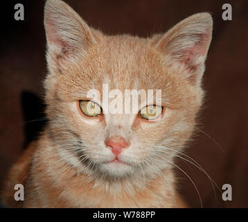 The face of a young ginger tabby kitten - Stock Photo