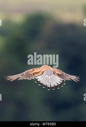 Kestrel (Falco tinnunculus) male bird in flight hovering over the southdowns UK. Grey head and tail spotted red brown back, black bar on end of tail. - Stock Photo