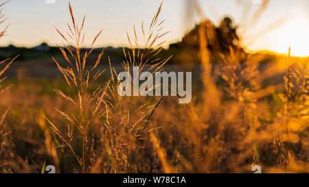 Golden spikes wheat under the brights rays of sun at sunset. Landscape with green crop fields on the background. Ears of golden wheat close up. Rural - Stock Photo