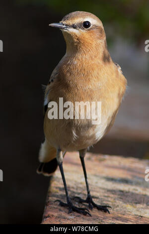 A Northern Wheatear ( Oenanthe oenanthe ) standing on a brick wall in the Greenhill Gardens in Weymouth Dorset England - Stock Photo