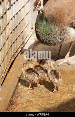 Peacock female and baby chicks