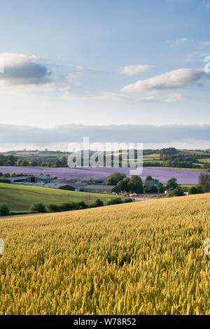 Phacelia tanacetifolia. Fiddleneck crop fields in the evening sunlight. Swalcliffe, Oxfordshire, England - Stock Photo