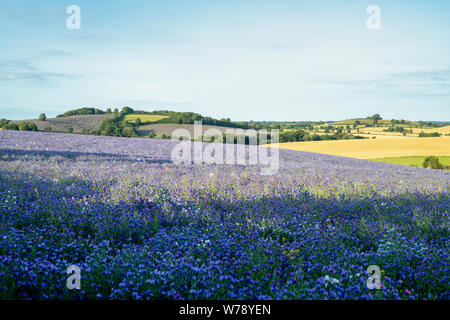 Phacelia tanacetifolia. Fiddleneck crop fields in the evening sunlight. Swalcliffe, Oxfordshire, England - Stock Photo