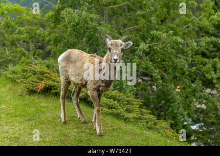 Spring Mountain Sheep - A young female Rocky Mountain Bighorn Sheep walking and grazing on a green meadow in Banff National Park, Alberta, Canada. - Stock Photo