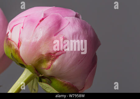 Pink peony flower in bloom on a grey background - Stock Photo