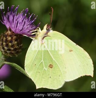 A male brimstone butterfly (Gonepteryx rhamni) feeding on a flower of common knapweed (Centaurea nigra). Bedgebury Forest, Kent, UK. - Stock Photo