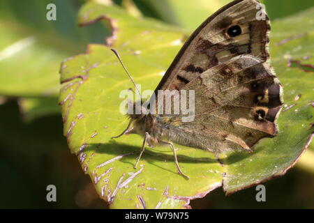 A female speckled wood butterfly (Pararge aegeria) on a worn looking leaf - Stock Photo