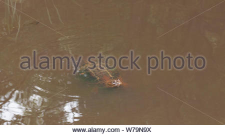 Common snapping turtle breathing at surface and seeing if any humans will throw bread.  In an Eakins Park pond in Fairfax County, Virginia. - Stock Photo