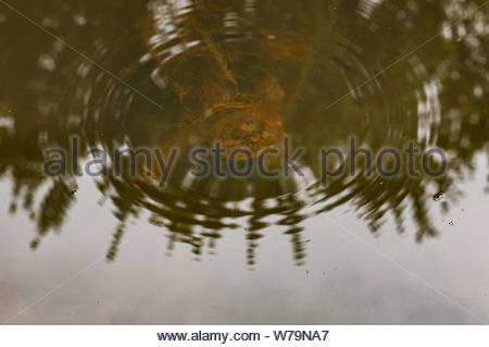 A common snapping turtle under water surface in an Eakins Park pond in Fairfax County, Virginia. - Stock Photo