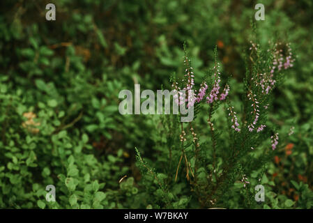 Close-up of Heather plants in the wildlife of the Northern forest - Stock Photo