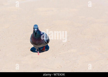 Dove walking in the sand on a sunny day - Stock Photo