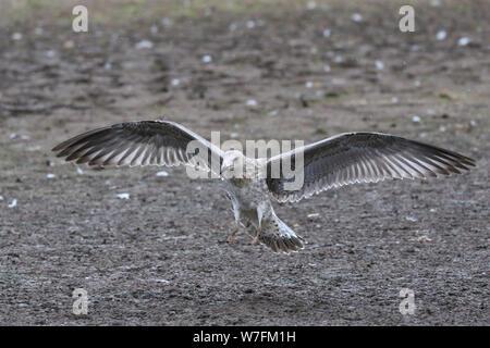 Juvenile lesser Backed Back Gull landing on Skokholm Island wales - Stock Photo