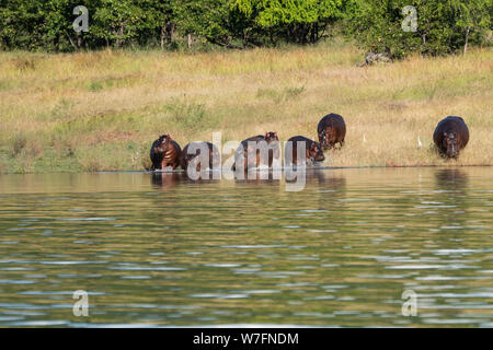 A pod of Hippopotamuses (hippopotamus amphibius) in a waterhole. Although these animals are gregarious and often live in big groups, they are not very - Stock Photo