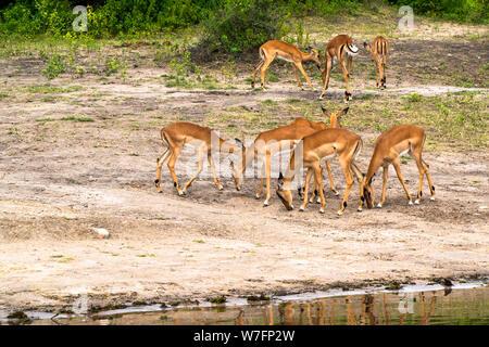 a herd of Impala ( Aepyceros melampus) at Lake Kariba along the Zambezi river, Zimbabwe - Stock Photo