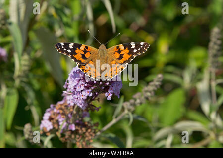 painted lady (Vanessa cardui) on butterfly-bush (Buddleja davidii) near Schönwalde, Schleswig-Holstein, Germany - Stock Photo
