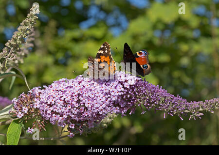 peacock butterfly (Inachis io) and painted lady (Vanessa cardui) on butterfly-bush (Buddleja davidii) near Schönwalde, Schleswig-Holstein, Germany - Stock Photo