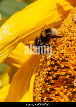 A bee covered in pollen is busy collecting nectar and feeding on a sunflower in a field of  sunflowers at Rhossili in August 2019. Gower, Wales, UK. - Stock Photo