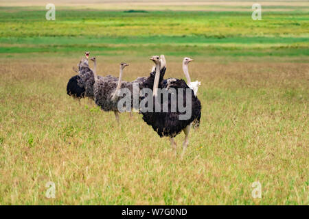 A family of wild ostriches (Struthio camelus). This group consists of females and a male. The ostrich, a flightless bird, is the world's largest and t - Stock Photo