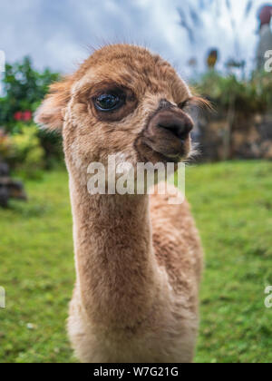 Funny animal portrait furry lama baby - Stock Photo
