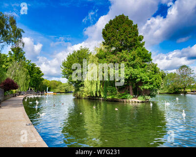 5 June 2019: Windsor, Berkshire, UK - Swans on the River Thames, and a tree covered island in the river. - Stock Photo