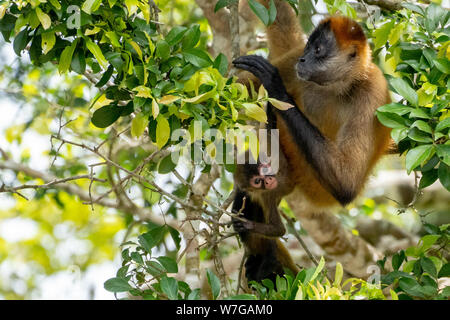Spider monkey mother and child leaping together between trees in primary rainforest - Stock Photo