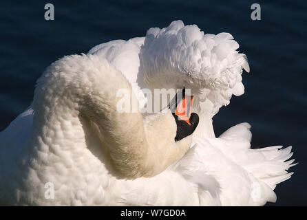 classic pose of Mute Swan preening its wings in full sun - Stock Photo
