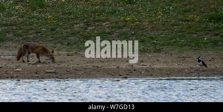 Fox stalking or following scent of possible prey with adult lapwing off to one side