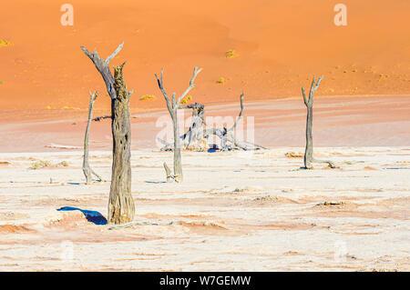 Camelthorn trees in Deadvlei, Sossusvlei, Namib Desert, Namibia - Stock Photo