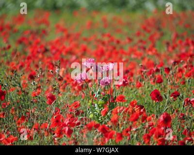 Pink Poppy in Red Poppy Field Poppies - Stock Photo